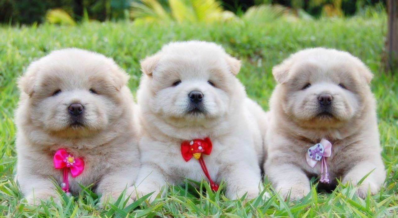 5502a2c4d50 Pet Store Venda de Filhotes de Cães e Gatos – Venda de Filhotes de ...